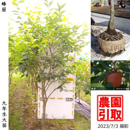 大苗◇カキ(渋柿)蜂屋(はちや)[地掘苗 2015年:LL]