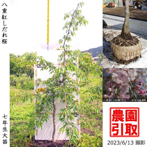 大苗◇サクラ(桜) 八重紅しだれ桜[地掘苗 2016年:M]◆ワケあり