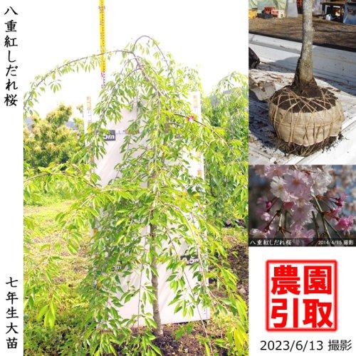 大苗◇サクラ(桜) 八重紅しだれ桜[地掘苗 2016年:L]