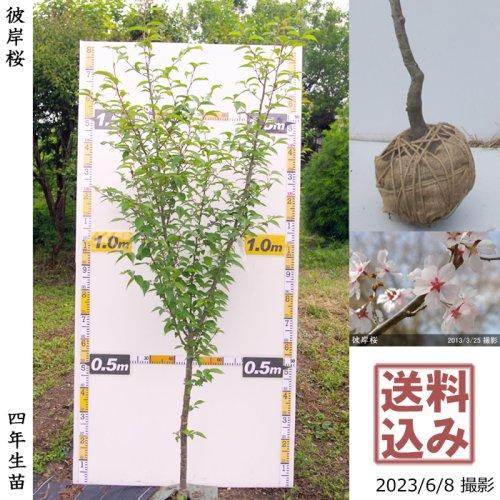 大苗◇サクラ(桜) 関山(カンザン)八重桜[地掘苗 2017年:S(cutあり)]