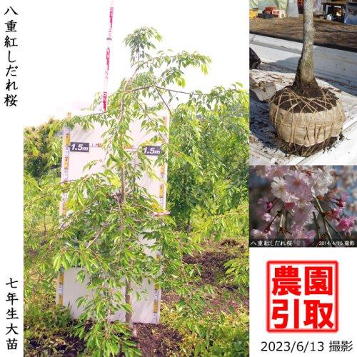 大苗◇サクラ(桜) 八重紅しだれ桜[地掘苗 2017年:M]