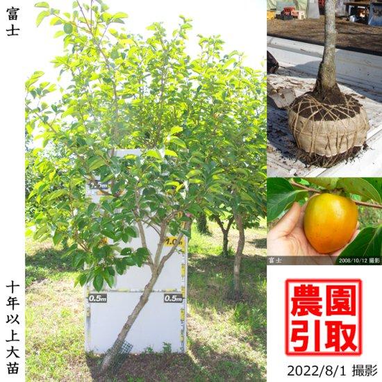 大苗◇カキ(渋柿) 蜂屋(はちや)[地掘苗 2011年:小]◆ワケあり