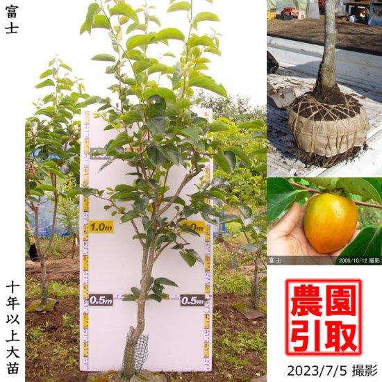 大苗◇カキ(渋柿) 蜂屋(はちや)[地掘苗 2012年:特小]◆ワケあり