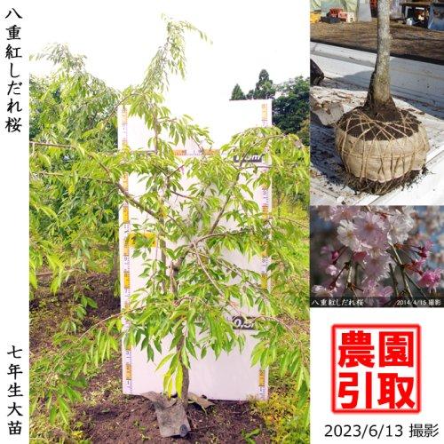 サクラ(桜) 八重紅しだれ桜[地掘苗 2016年:中]