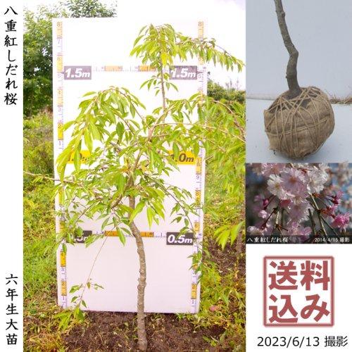 大苗◇サクラ(桜) 八重紅しだれ桜[地掘苗 2018年:M]