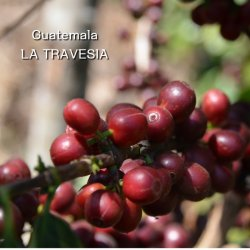 グァテマラ ラ・ホヤ農園  HAB ハイロースト(200g)