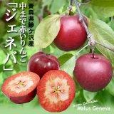 (冷蔵)青森鰺ヶ沢産中まで赤いりんご「ジェネバ」[風丸農場]※8月下旬から発送予定