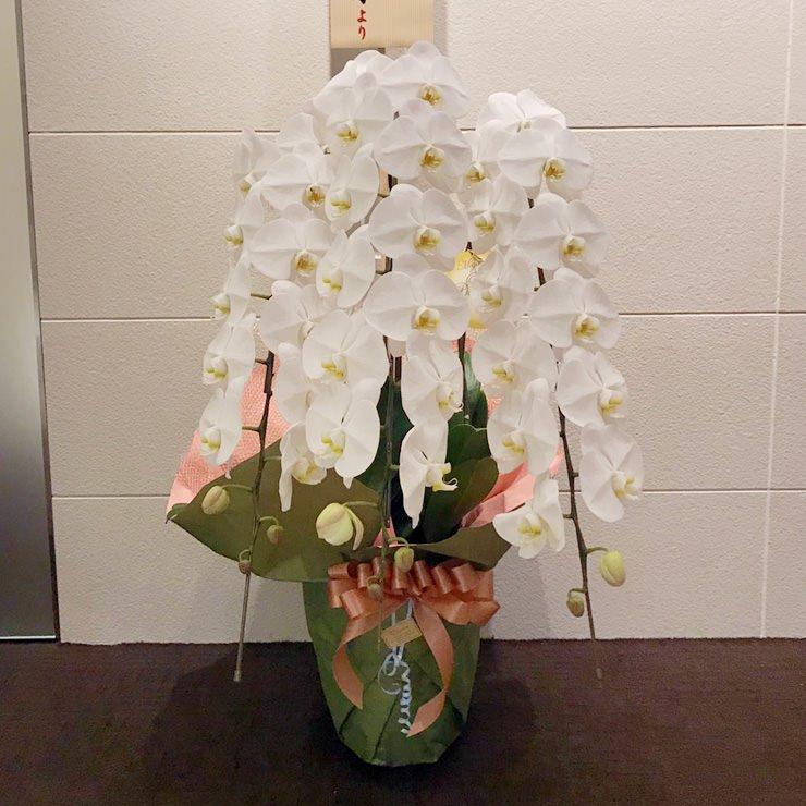 プレミアム胡蝶蘭3本立ち