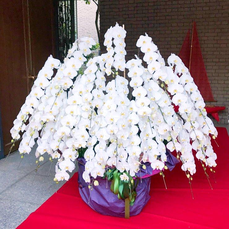 プラチナム胡蝶蘭30本立ち