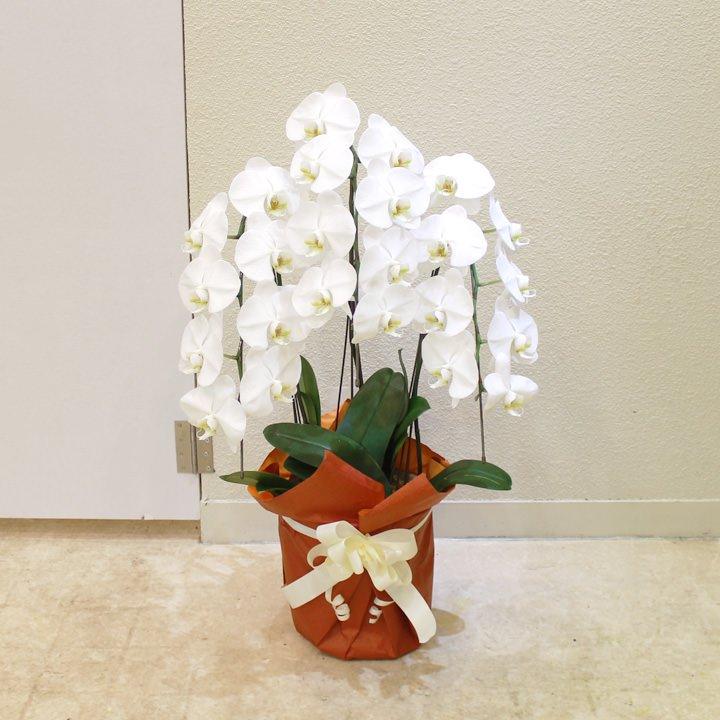 エコノミー胡蝶蘭3本立ち