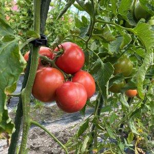 【期間限定20箱!】希少な露地栽培 桃太郎トマト 約3kg
