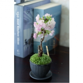 ミニ盆栽 旭山桜