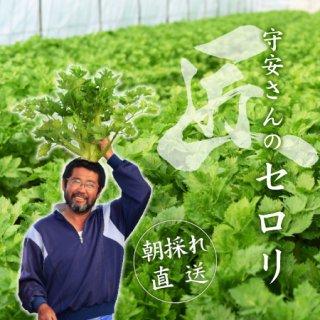 【只今シーズン中】守安さんのセロリ(山手産セロリ) Lサイズ2株(約3kg)