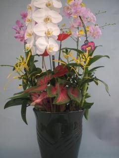 熊本産 胡蝶蘭寄せ植え2