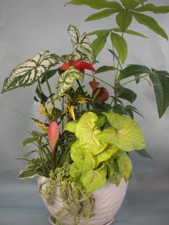 パキラ、カラジュウム観葉植物寄せ