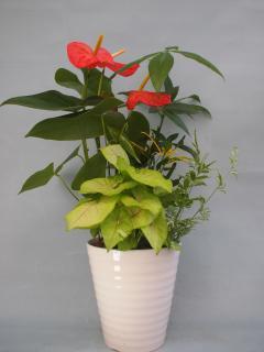 アンス、パキラ観葉植物寄せ6号