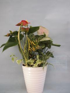 アンス、シンゴニウム観葉植物寄せ6号