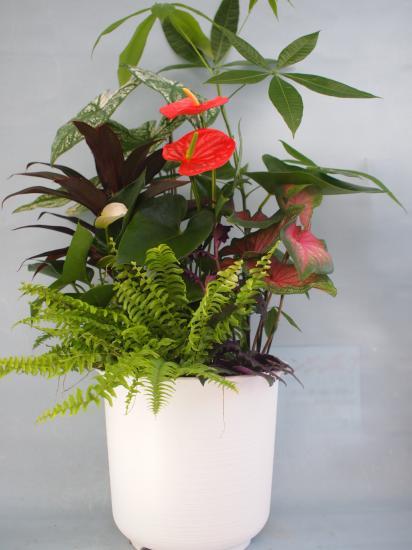 パキラ観葉植物寄せ9号