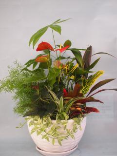 アンス、パキラ観葉植物陶器皿大