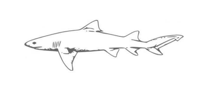 アイザメってどんな鮫