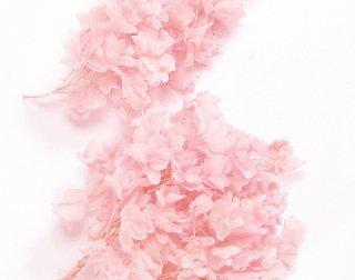 大地農園<br>カシワバアジサイ<br />ピンク