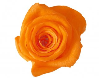 ローズ・ヴェルメイユ<br />アイネス8<br />オレンジ