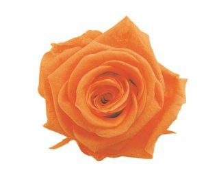FLOREVER<br>フレッシュルック・スタンダードローズ(1箱6輪入)<br />サンセットオレンジ