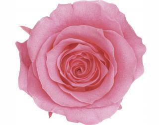 大地農園<br>ローズ・かのん・L<br />(1箱8輪入)<br />プリンセスピンク