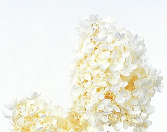 ソフト・ピラミッドアジサイ・ヘッド(単色)オフホワイト