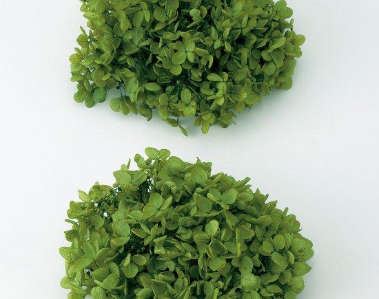 ソフト・ピラミッドアジサイ・ヘッド (単色)グリーン