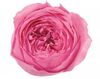 大地農園<br>ローズ・てまり<br />プリンセスピンク
