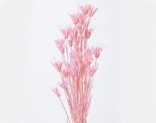 ニゲラオリエンタリス/ プリンセスピンク