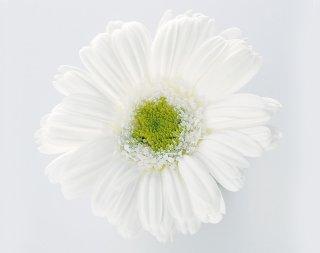 ガーベラ / 白