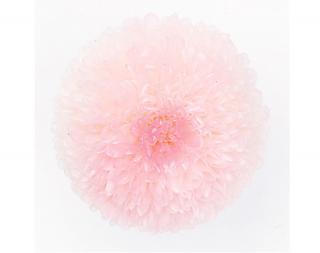 大地農園<br>ポンポン菊・ミディ<br />/ ホワイトピンク