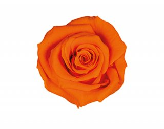 FLOREVER<br>フレッシュルック・ベイビーローズ(1箱12輪入)<br /> タンジェリンオレンジ