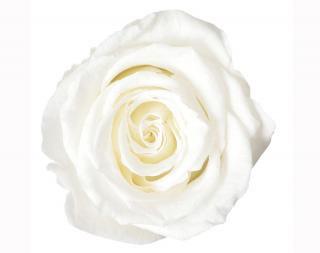 ローズ・ヴェルメイユ<br />アイネス8<br />プリンセスホワイト