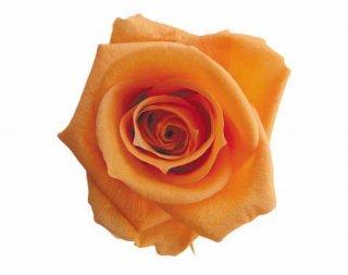 FLOREVER<br>フレッシュルック・メディアナローズ(1箱8輪入)<br />サンセットオレンジ