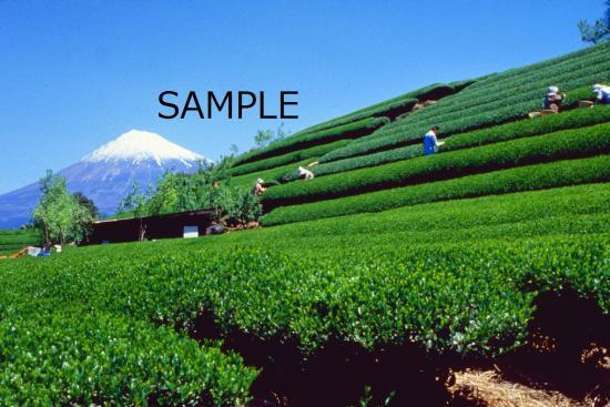 茶摘み富士