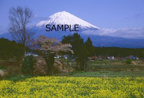 富士桜の季節 No.2