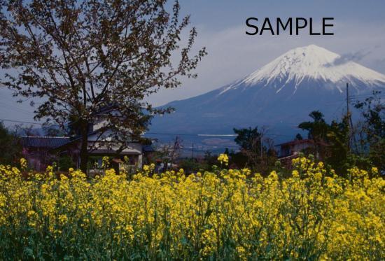 富士桜の季節 No.3