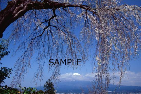 富士桜の季節 No.4