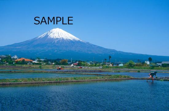 田植え富士
