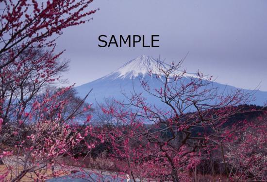 梅林から望む富士